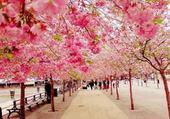 Fleurs cerise au Japon