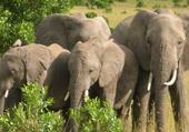 Puzzle ELEPHANTS DANS RESERVE MASAI