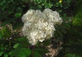 Fleur en robe blanche