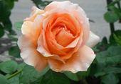 ROSE ORANGEE