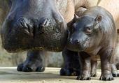 Puzzle hippo