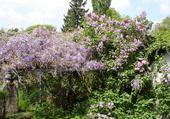 glycine et lilas