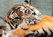 Le petit tigre et sa mère