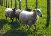 moutons basques