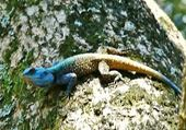 lézard coloré