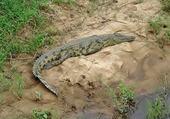 croco au parc Kruger