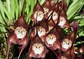 orchidée à la face de singe