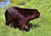ours canadien