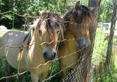 De gentils chevaux