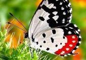 Puzzle papillon noir rouge blanc