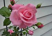 jolie rose rose