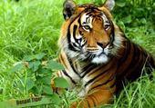 Puzzle tigre du bengal