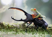 La grenouille et le lucane