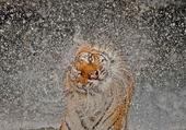 Tigre mouillé