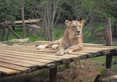 Jolie lionne