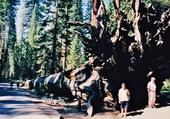 Puzzle séquoia couché