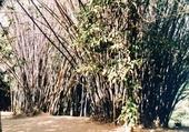 bambous variés