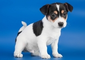 CHIOT JACK RUSSEL