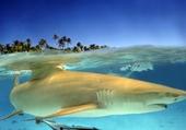 requin citron