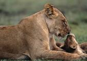 Puzzle Lionceau et sa maman