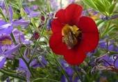 bourdon sur fleur rouge