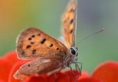 papillon au repos