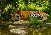 Un tigre à la cool