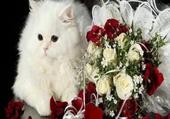 Puzzle chat blanc et roses rouges
