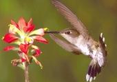 Puzzle colibri butinant