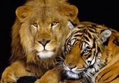 tendresse lion tigre