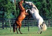 duel de chevaux