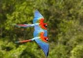 oiseaux bleus en vol plané