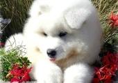 joli chiot blanc