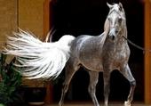 cheval pommelé