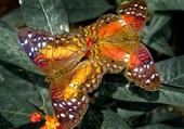 duo de magnifiques papillons
