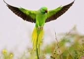 beau perroquet en vol