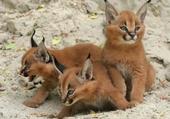 Puzzle petits lynxs