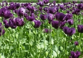 Tulipes mauves