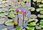 fleurs de nénuphars