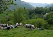 vache en couserans