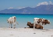 les vaches a la plage