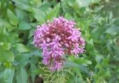 fleur savoyarde