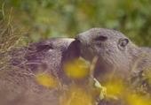 marmottes amoureuses