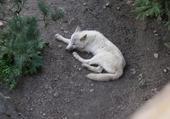 Puzzle Loup