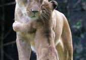 Puzzle Câlin lionceau et sa maman