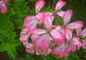 Puzzle fleur roose