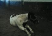 mon cheval asstra