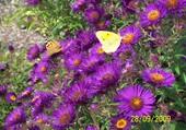 aster et papillons