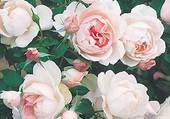 rosier Mme Figaro