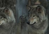 Puzzle les loups